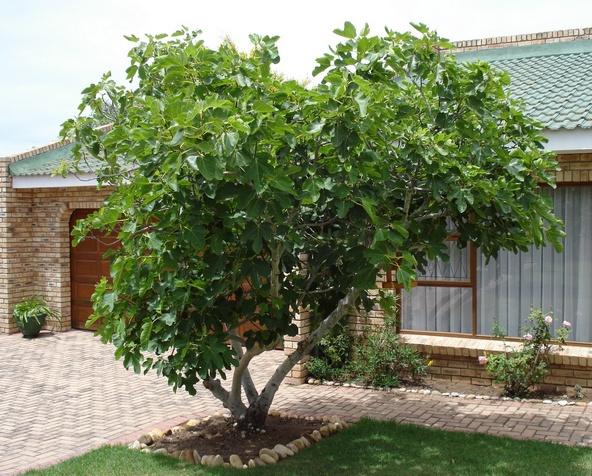 Mature dwarf fig trees