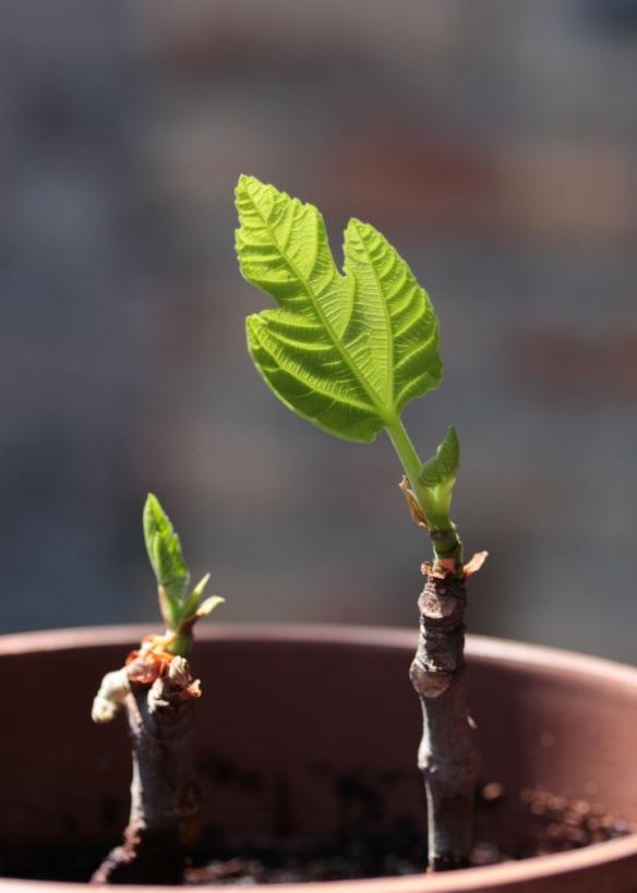 fig tree slips