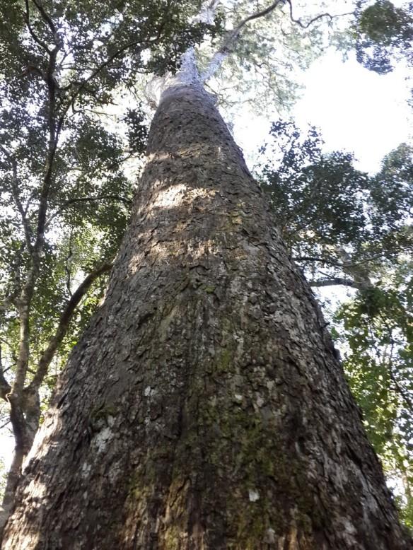 Big Tree 00001