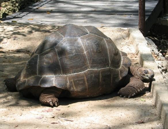 Zanzibar tortoise