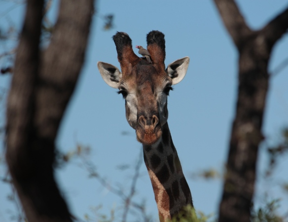 Kruger May 2015 49 - Copy