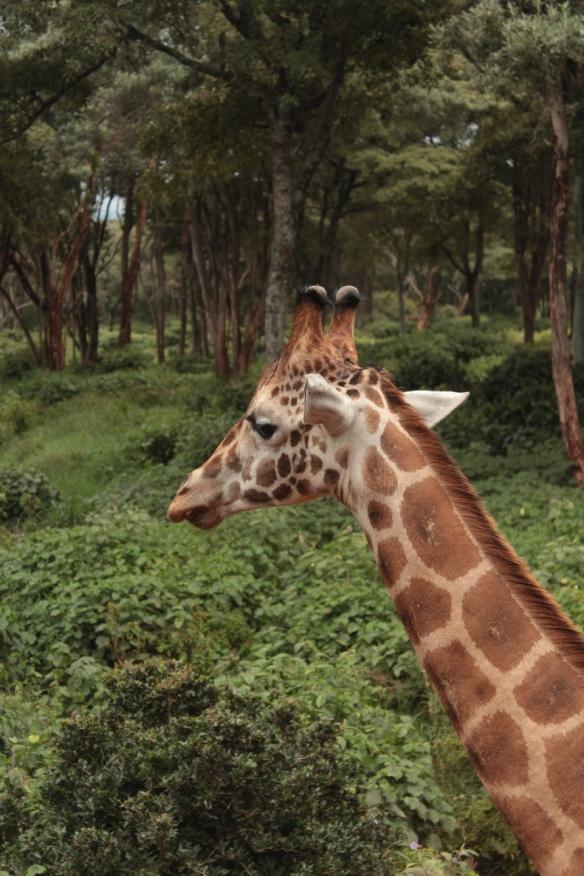 Kenya Giraffe Centre